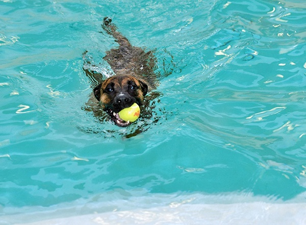 Dog swimming with tennis ball in its mouth